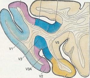 zone corteccia visiva